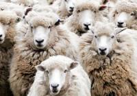 David Icke – Efekt stada: Manipulacija masama je vrlo jednostavan posao!