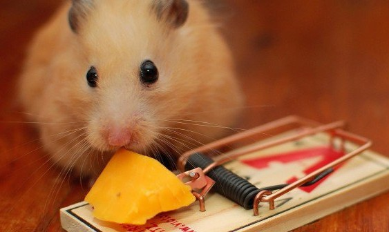 mouse-mousetrap-cheese-wide-hd-wallpaper-702x336