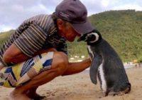 Svake godine PINGVIN PREPLIVA 8.000 km da bi posetio čoveka koji ga je spasao (VIDEO)
