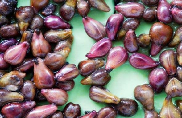 ZATAŠKANE ZNANSTVENE STUDIJE: Kemoterapija 'ubija', a ekstrakt ovih sjemenki UBIJA RAK za 24 sata!